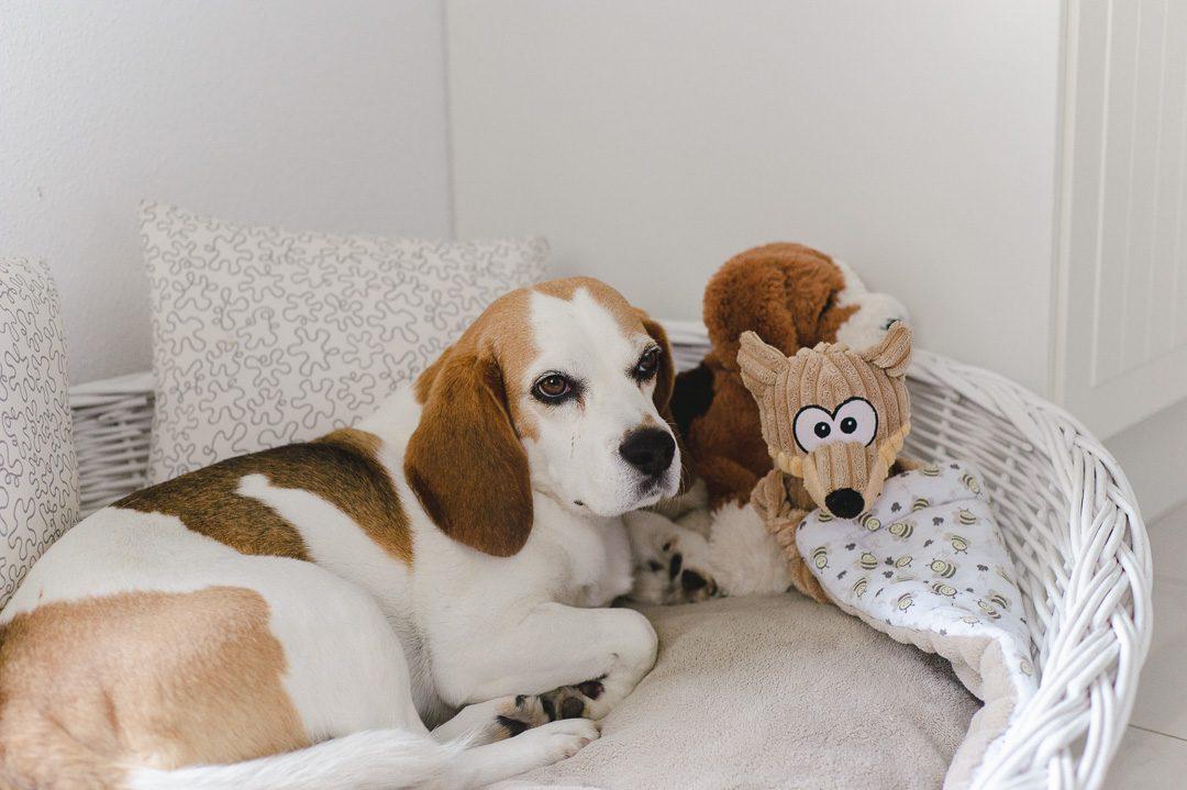 Beagle Hündin Fee