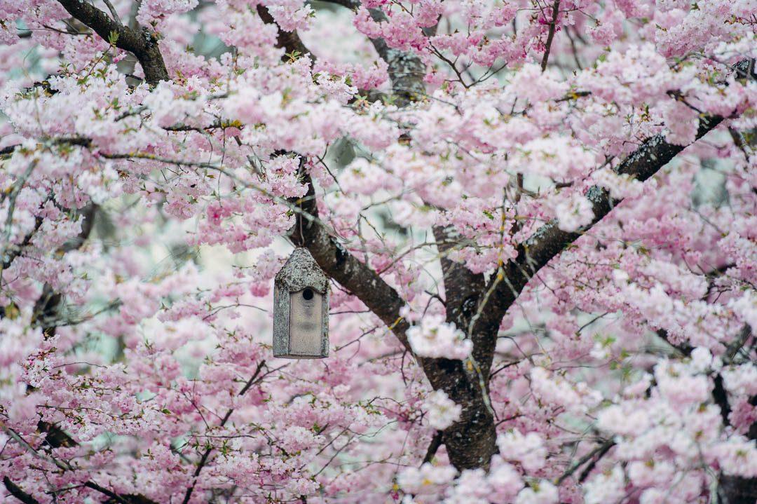 Kirschblüte Botanischer Garten Augsburg