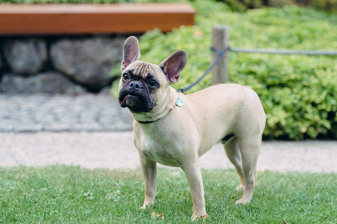 French Bulldog Augsburg